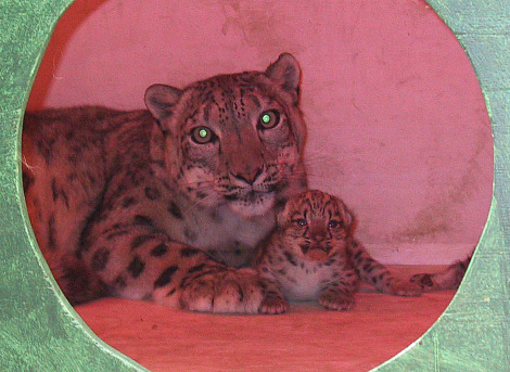 Snow leopard cub and mother buffalo zoo 1rsa