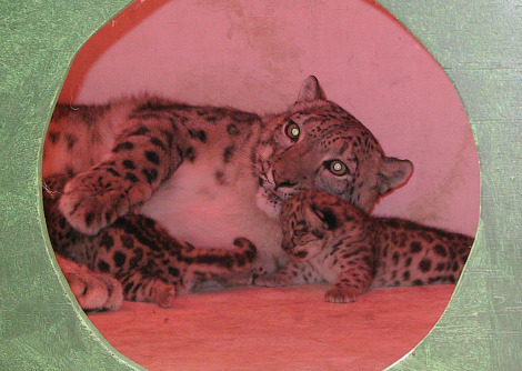 Snow leopard cub and mother buffalo zoo 2rs