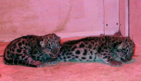 Snow leopard cub and mother buffalo zoo 3 rs