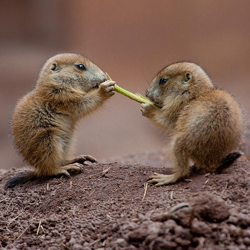 Prairie dog pups numberg zoo 1