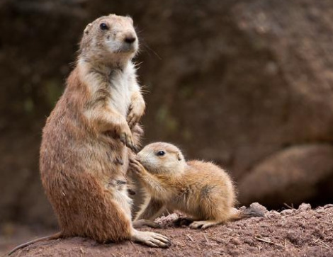 Prairie dog pups numberg zoo 7