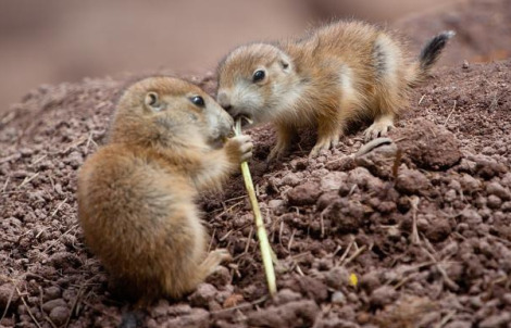 Prairie dog pups numberg zoo 6
