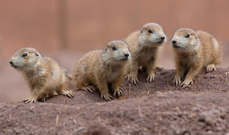 Prairie dog pups numberg zoo family