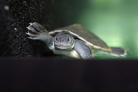 Baby batagur baska turtles 3