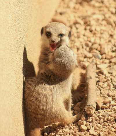Baby meerkat zsl london zoo 3