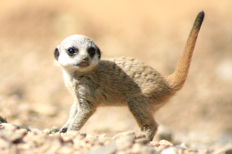 Baby meerkat zsl london zoo 2 rs1