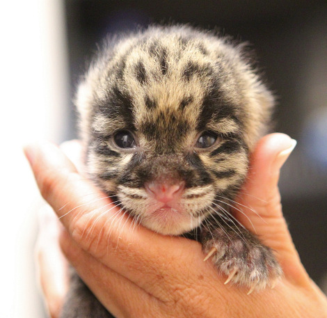 Nashville Clouded Leopard Cub 1 - Christian Sperka