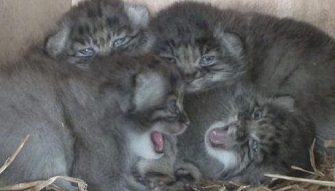 Pallas's cat kittens whs 1