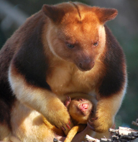 Goodfellows tree kangaroo joey melbourne zoo 7