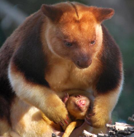 Goodfellows tree kangaroo joey melbourne zoo 7