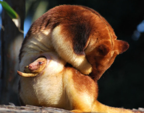 Goodfellows tree kangaroo joey melbourne zoo 6