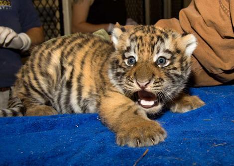 Denver Zoo Baby Tiger1