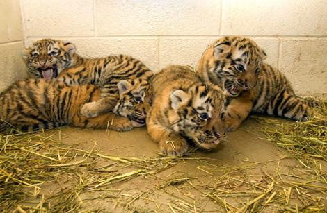 Denver Zoo Baby Tiger4