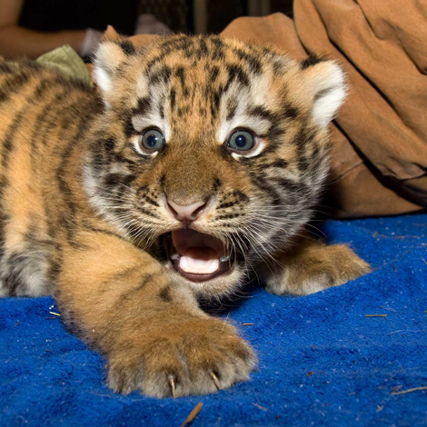 Close-up-of-Denver-Zoo-Baby-Tiger