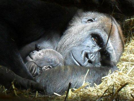 Sleepy-baby-gorilla