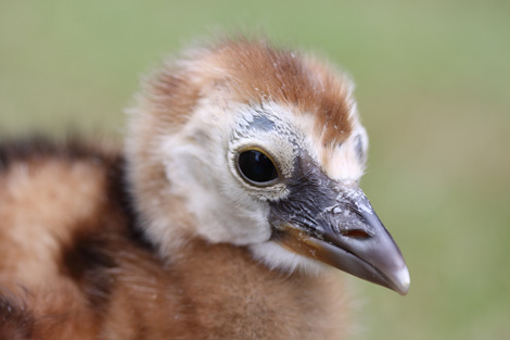 Grey-Crowned-Crane-close-up-by-Michelle-Turton