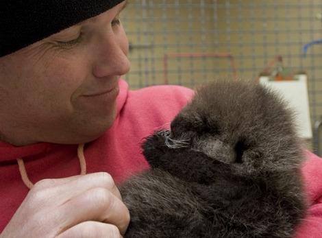 Baby sea otter alaska sealife center