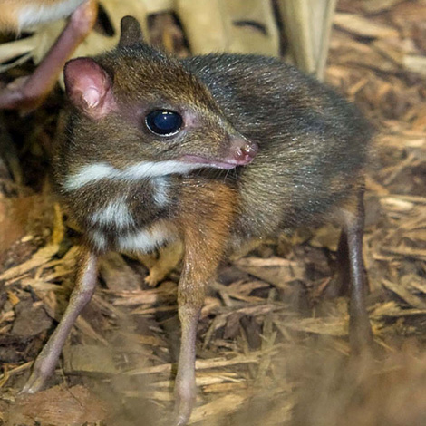 Mouse-Deer-at-Paignton-Zoo-detail