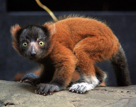 Red ruffed lemur cleveland metro parks 5