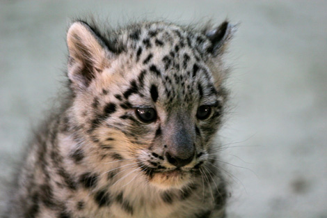 Cape-May-County-Snow-Leopards-5