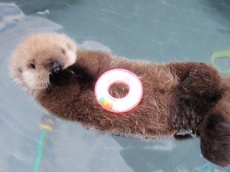 Baby sea otter tazo alaska sealife center 1