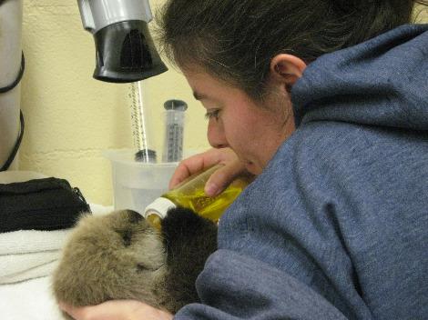 Baby sea otter tazo alaska sealife center 4