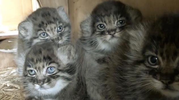 Pallas-Cats-WHF-1