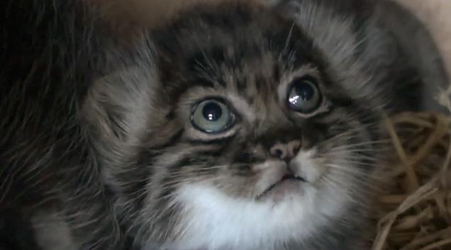 WHF-Pallas-Cats-face