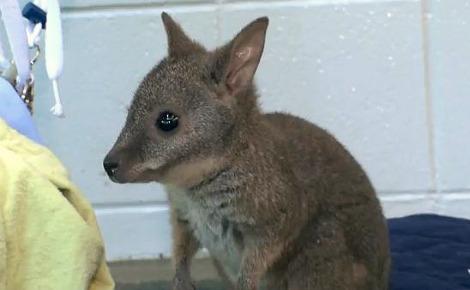 Raising A Little Wallaby Zooborns