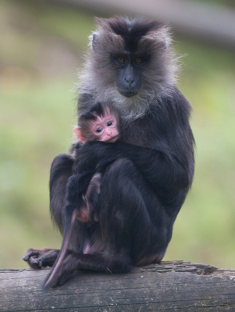 Baby lion tailed macaque belfast zoo 1 rs