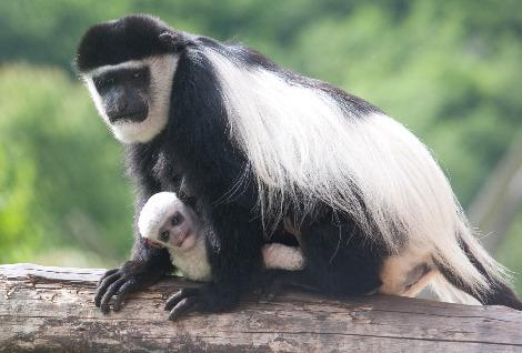 Baby colobus monkey belfast zoo 1 rs