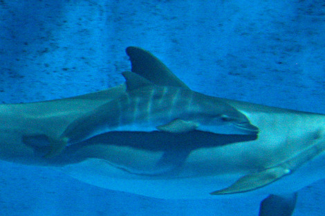 Baby dolphin calf minnesota zoo 2 rs2