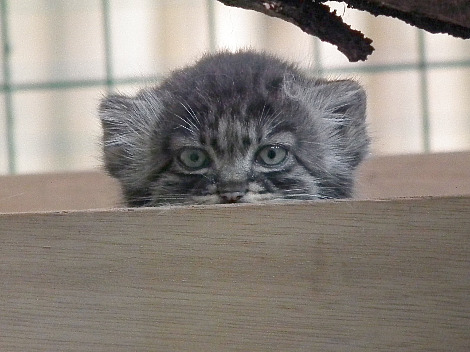 Pallas cat kittens wildlife heritage foundation 3