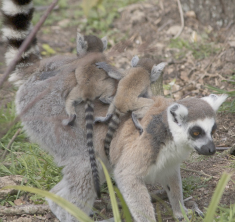 Baby ring-tailed lemur Durrell Wildlife Conservation 7
