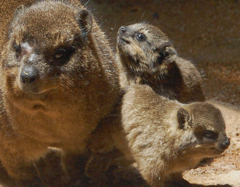 Baby hyrax at national zoo_picnik