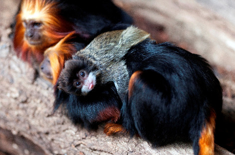 Tamarin surrogate london zoo 1a