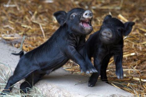 Connecticuts beardsley zoo baby guinea hog pigs 2