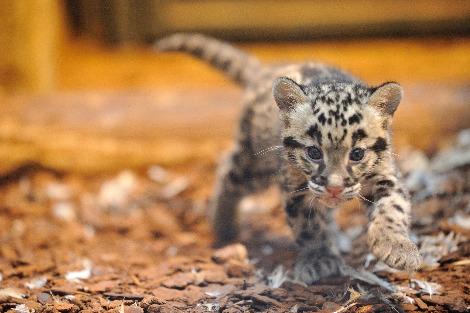 Clouded leopard cubs jardin des plantes 1 rs