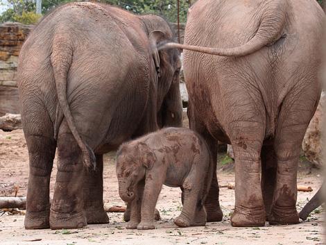 Asian-Elephant-Calf.-Chester-Zoo-UK