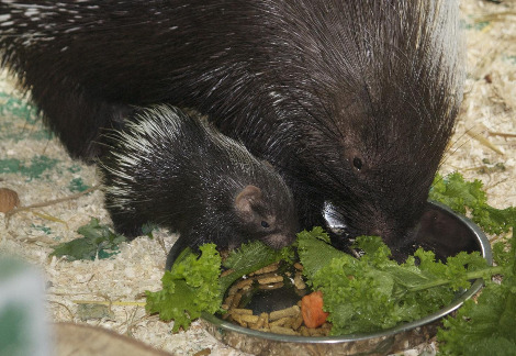 Newborn porcupine Pippa Credit Colm Farrington