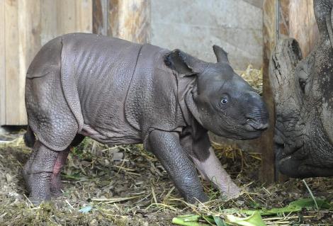 Baby rhino henna white leg zoo basel 5