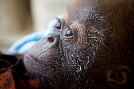Baby orangutan denver zoo 3