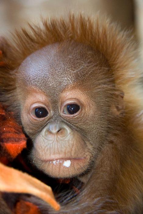Baby orangutan denver zoo 4