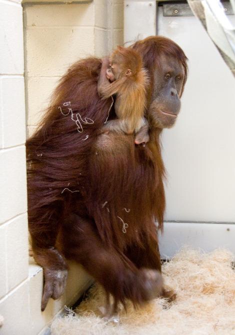 Baby orangutan denver zoo 1