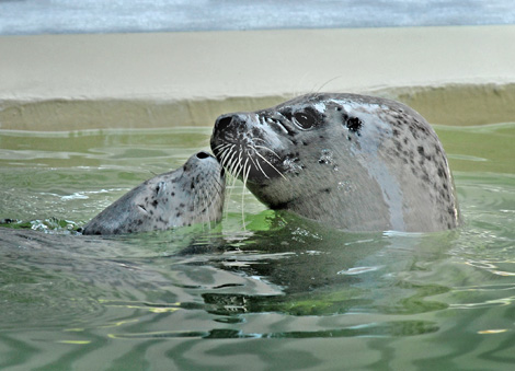 Female-&-Pup-Harbor-Seal-#2--6-28-10_Tad-Motoyama-1113