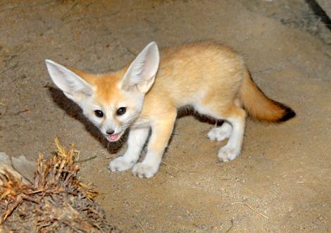 Fennec-Fox-Pup-7-23-10--034Tad-Motoyama