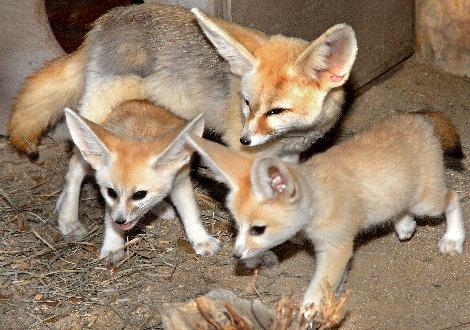 Fennec Fox Female with 2 Pups 7-24-10_Tad Motoyama 2024
