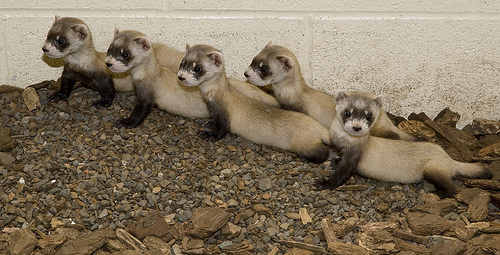 Baby black footed ferret kits smithsonian national zoo 3