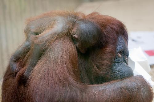 Ouehands Zoo Orangutan 1