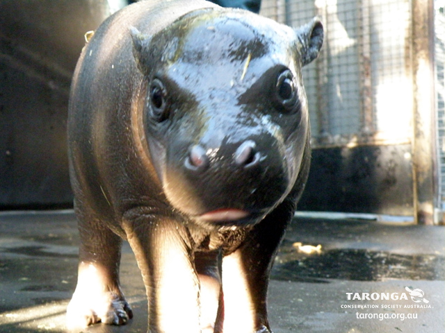 Baby hippo calf taronga zoo 2